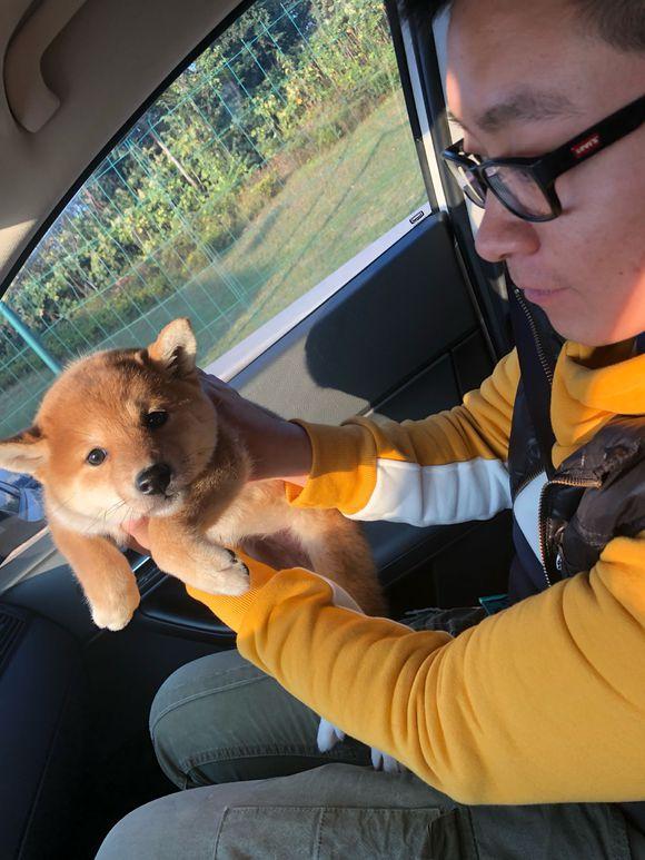 带柴犬出去玩儿,路上情绪不是很高,柴犬:晕车了!