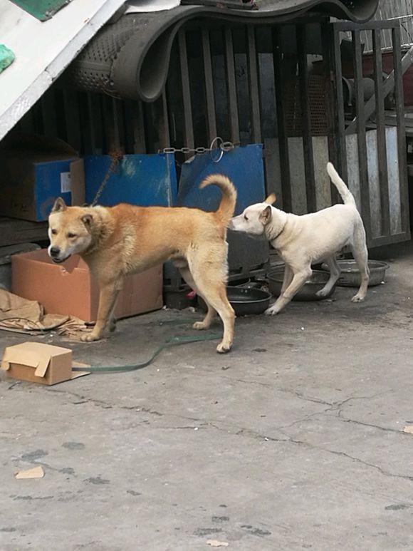 """土狗被主人拴家里了,小伙伴在外面一直给""""发信号""""叫它玩"""