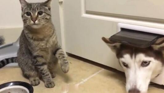 """二哈想串门去玩儿,被守在门口的小猫给""""拦""""住了!"""
