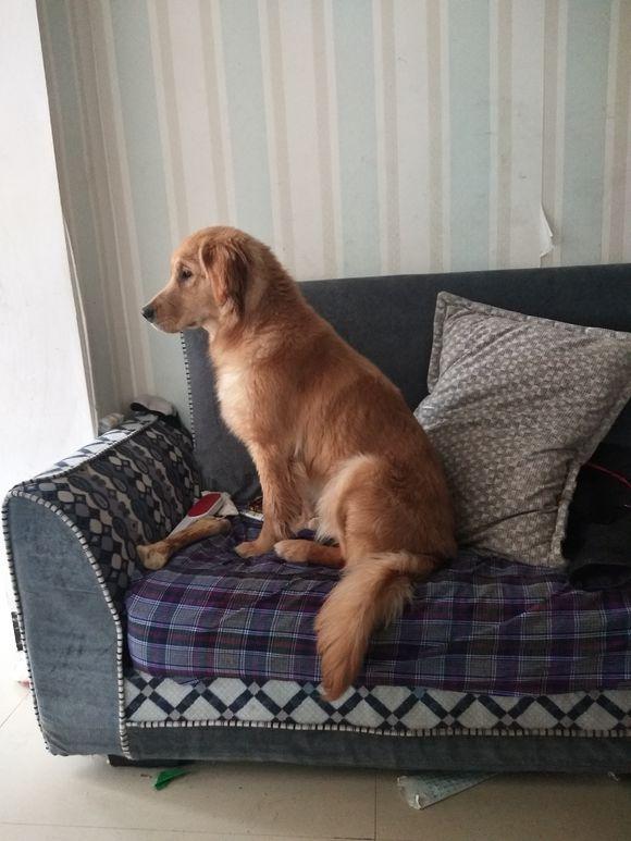 金毛经常坐在窗前看外面,下雪之后带着金毛出来玩,见雪了