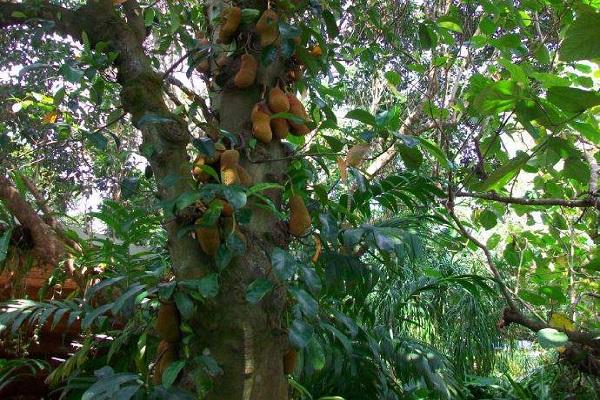 这一进口水果神似菠萝蜜,香味浓郁,风味独特,种植效益高!