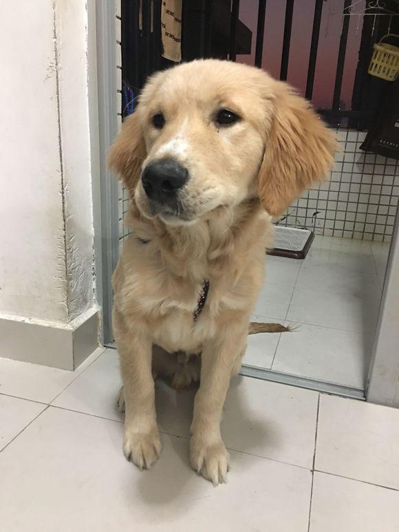 金毛刚4个月就开始自己挑选喜欢的衣服,真是一只爱美的狗