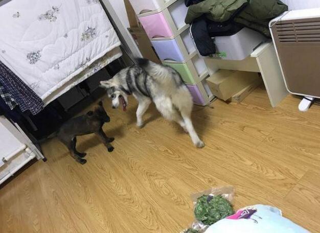 家里新来了一只马犬,二哈有老大哥的样子,相处得还算和谐