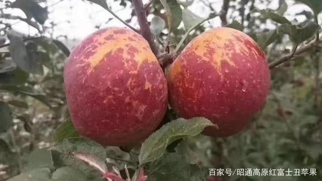 昭通丑苹果,丑丑的外表