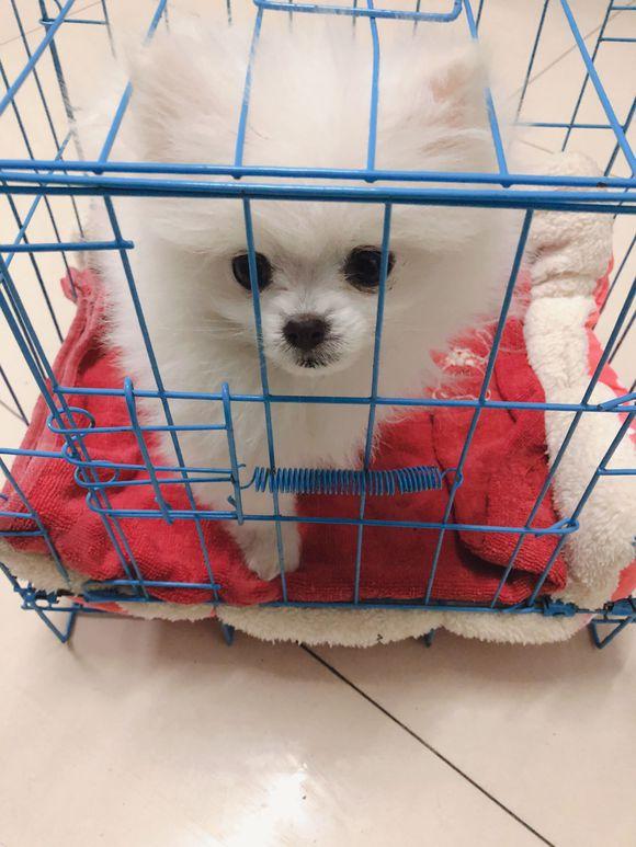 博美经常随地大小便,网友把它关进笼子里了惩罚它!