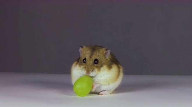 主人给小仓鼠吃葡萄,仓鼠半天没法下口,气得转身就走:不吃了!