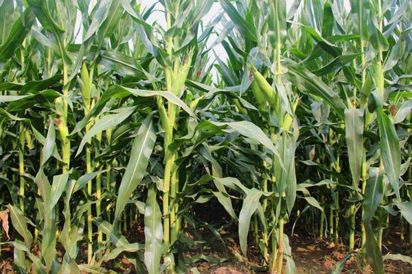 沃玉3号和登海605玉米品种哪个好?对比之后见分晓
