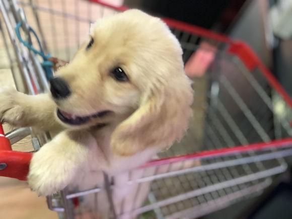 金毛在超市不想回家,按住购物车不让推走,主人……