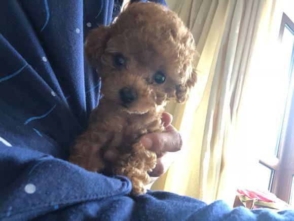 两个月大的泰迪,怎么样?网友:好可爱啊!