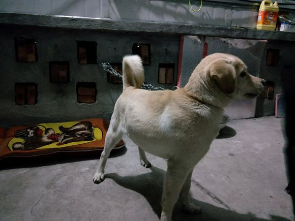 大晚上这只狗狗自己在院里看家,网友不舍它自己看家!
