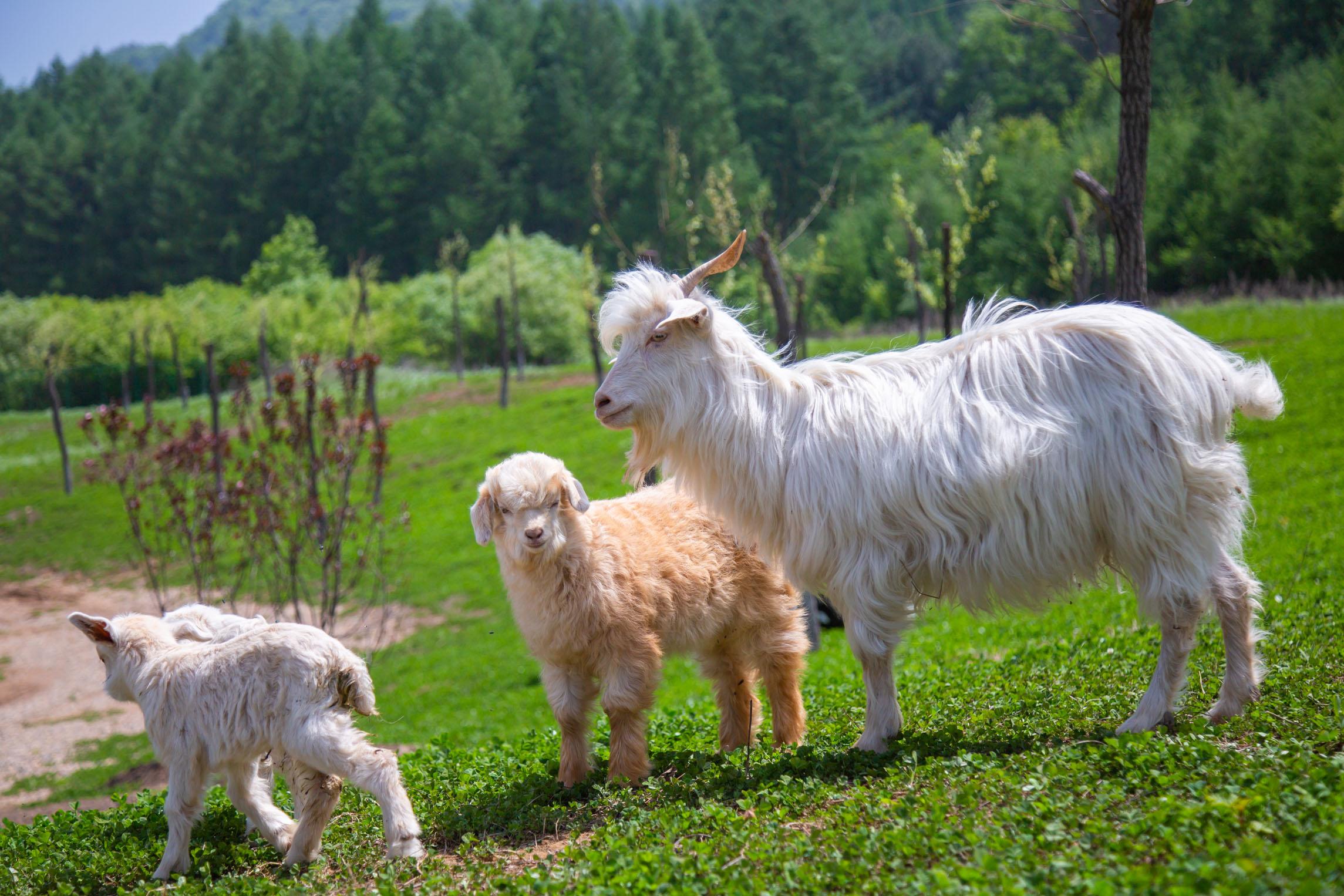 属羊今日运势财运如何 属羊今日运势非常运势网
