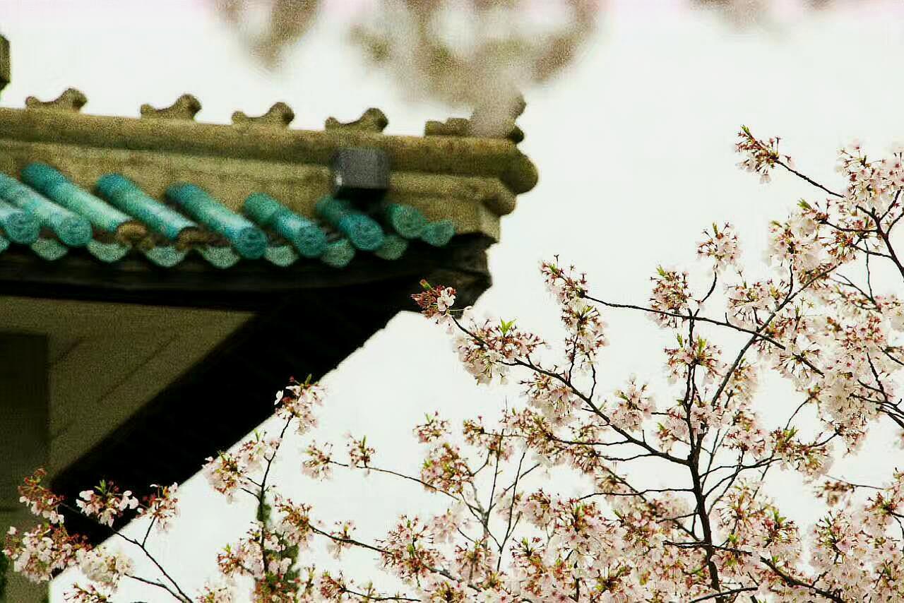 醉美樱花季,在这个春天欣赏漫天红霞,感悟樱花绯雪
