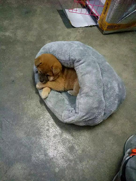 柴犬越来越不把自己当外人了,现在它都已经开始上主人床了