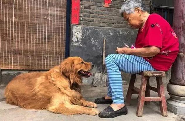 金毛是奶奶从小养大,奶奶最近身体不好,金毛天天守在身边