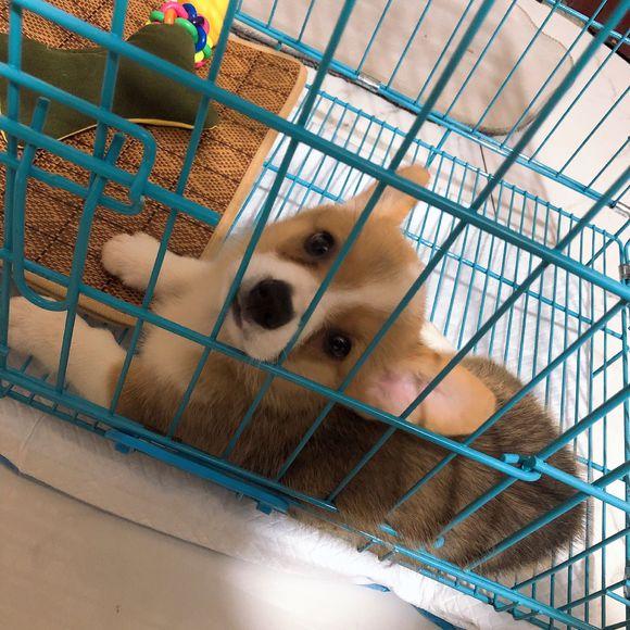 柯基被关在笼子里不满,见主人回来闹着出去,脚下舒服多了