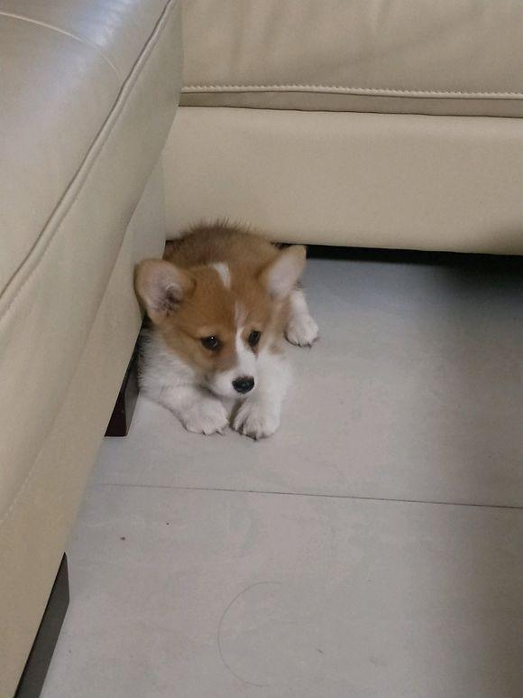 柯基刚抱回家,它一直在角落趴着,只有吃的才能让它动起来