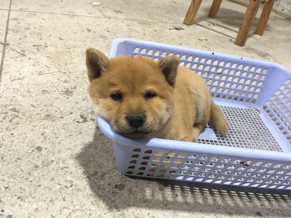 柴犬把自己当成商品要卖掉,网友:10块钱,我要了!