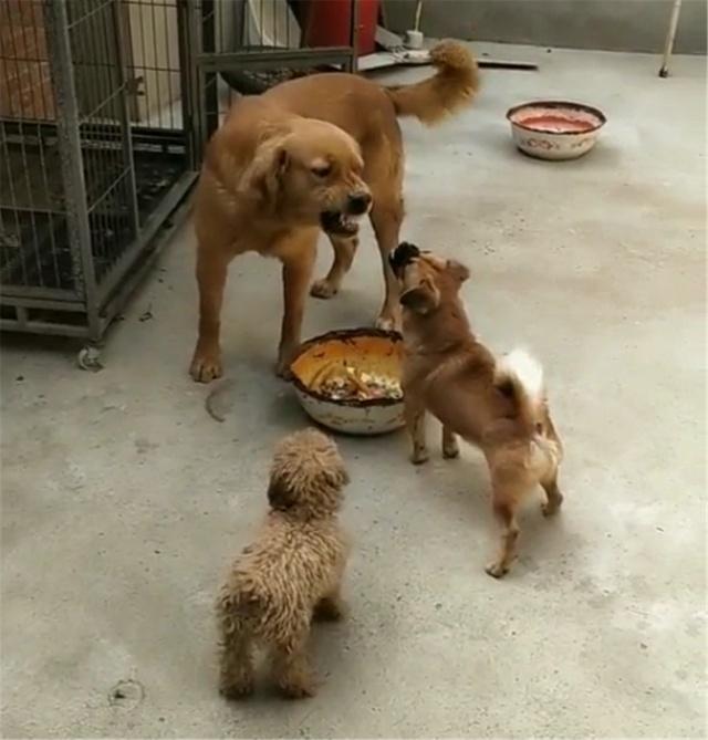 没想到土狗这么厉害,敢和大金毛抢吃的,泰迪吓得不敢动了