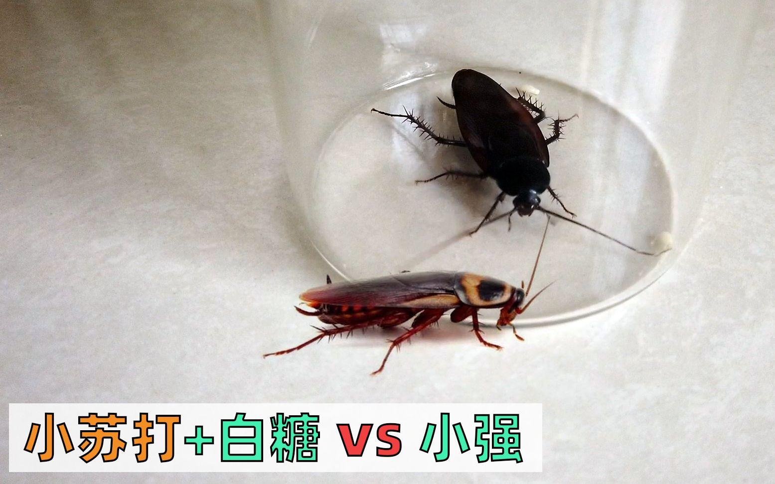 不用药灭蟑螂最有效的方法,糖和苏打粉就搞定了