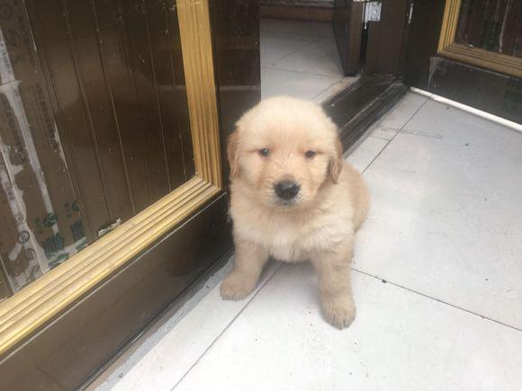 金毛突然离开了,网友:以后再也不要养狗了!