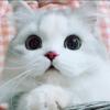 #每日萌宠#矮脚猫刹车,都不太灵,心疼我手机屏幕中……